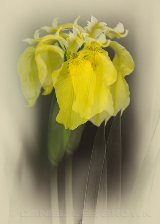Yellow Flag Iris, in-camera double exposure with antique tinted treatment. American River Parkway, Sacramento Co, CA, 4-19-13. Cropped image.