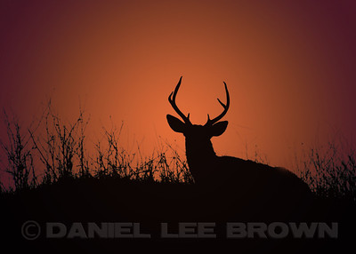 Buck at sunrise. The sunrise effect has been added in photoshop.