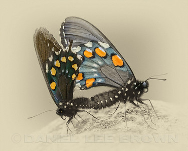 Pipevine Swallowtails, antique B&W color tinted.