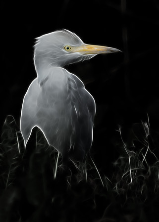 Cattle Egret, photoshop manipulation.