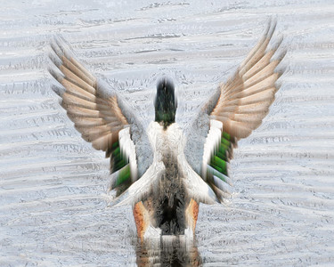 Male Northern Shoveler. This is a photo illustrated using photoshop plugins.