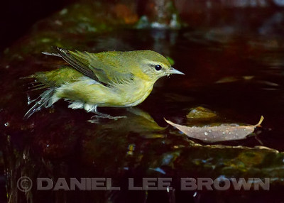 Tennessee Warbler, Rosemont area, Sacramento County,  CA, 9-3-14. Cropped image.