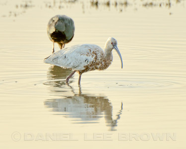 Leucistic White-faced Ibis, Santa Fe Grade Road, Merced County, CA, 2-5-14. Heavily cropped image.