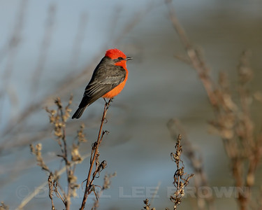 Vermillion Flycatcher, Wilson rd, Merced County, CA, 2-5-14. Cropped image.