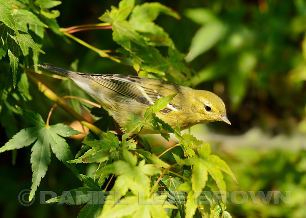 Blackpoll Warbler, Sacramento County, CA, 9-9-14. Cropped image.