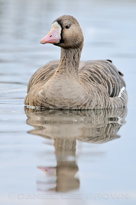 Greater White-fronted Goose, Colusa NWR, Colusa County, CA, 1-30-14. Slightly cropped image.