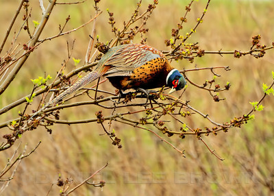 Male Ring-necked Pheasant feeding on emerging buds, Sacramento NWR, Glenn County, CA, 2-28-14. Cropped image.