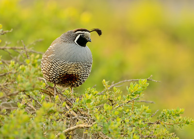 California Quail, Sonoma County, CA, 4-20-14. Cropped image.