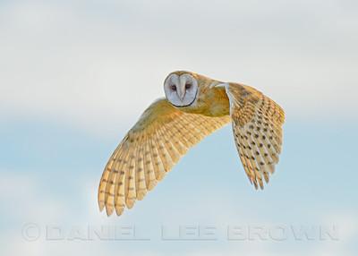 Barn Owl, Cosumnes River Preserve, Sacramento Co, CA, 9-13-12.