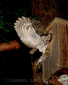 Western Screech-Owl at the nest box with a Cedar Waxwing, Sacramento County, CA, 5-19-14. Cropped image.