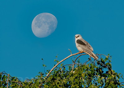 White-tailed Kite and the moon, Sac. Co. CA, 6-7-12. Slightly cropped image, removed a branch. Stacked two images, one with the Kite in focus and the other with the moon in focus, then blended them together. The moon was actually there in real time.