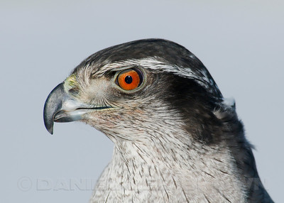 "Captive Northern Goshawk, photographed during the ""Eagles and AG"" festival, Carson Valley, Douglas county, NV, 2-26-11.  Nearly full frame."