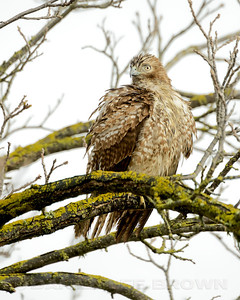 Juvenile Red-shouldered Hawk, Colusa NWR, Colusa County, CA, 2-28-14. Cropped image.
