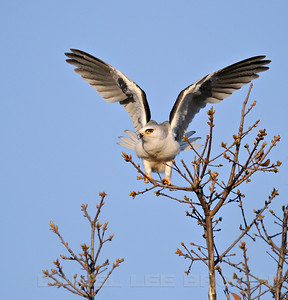 White-tailed Kite, Mather Lake, 3-28-09. Cropped image.