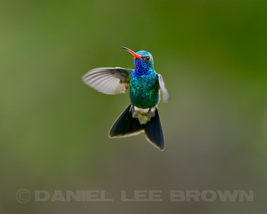 Male Broad-billed Hummingbird, Madera Canyon, Santa Cruz County, Arizona. Cropped image.  8-21-13