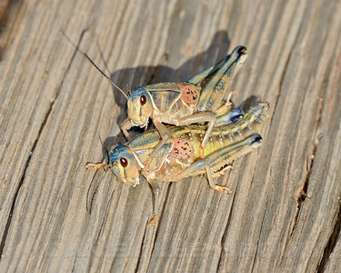 Grasshoppers,  near Portal, Cochise County, Arizona, 9-14-13. Cropped image.