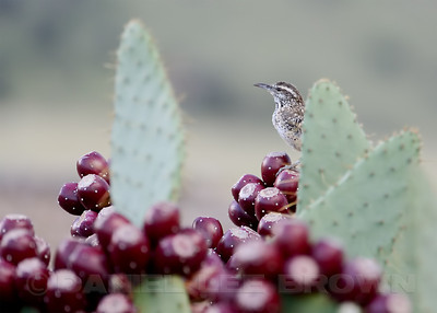 Cactus Wren, Santa Cruz County, Arizona, 9-12-13. Cropped image.