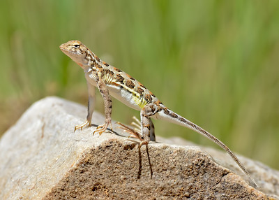 Lesser Earless LIzard, French Joe Canyon, Santa Cruz County, AZ, 9-12-2013. Slightly cropped image.