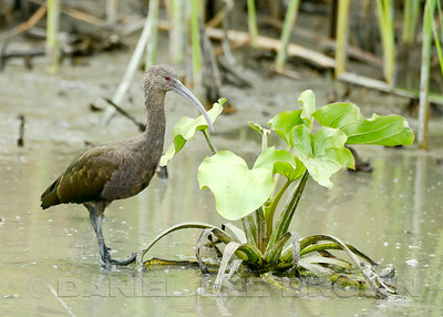 White-faced Ibis, hatch year, Yolo Bypass Wildlife Area, 7-20-14. Cropped image.