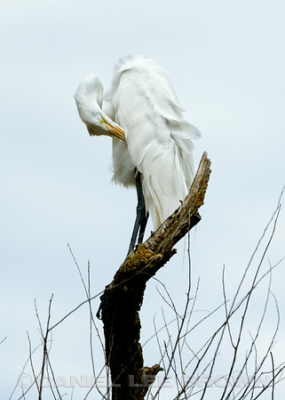 Preening Great Egret, Yolo Bypass Wildlife Area, 7-20-14. Cropped image.