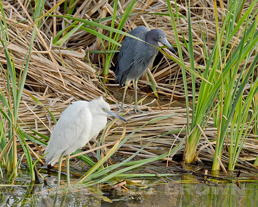LITTLE BLUE HERONS, ADULT AND IMMATURE