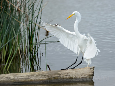 Great Egret, Colusa NWR, Colusa County, CA, 2-28-14. Canvas added top and bottom.