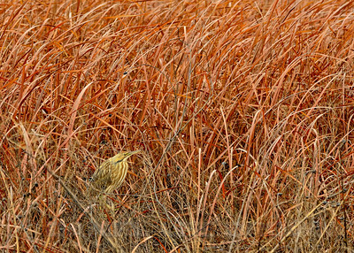 American Bittern, Yolo Bypass Wildlife Area, 2-9-14. Slightly cropped image.