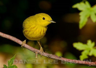 Male Yellow Warbler, Sacramento County, CA, 8-28-14. Cropped image.