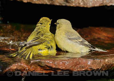 Yellow Warbler and Lesser Goldfinch