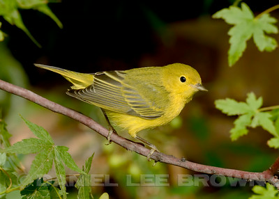 Female Yellow Warbler, Sacramento County, CA, 8-29-14. Cropped image.