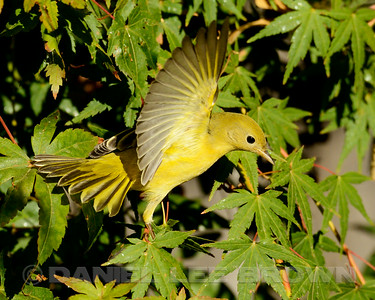 Female Yellow Warbler, Sacramento County, CA, 8-30-14. Cropped image.
