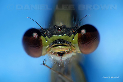 Western Forktail, 6X macro, numerous image files stacked and combined with software to give greater depth of field.