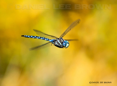 Male Paddle-tailed Darner (I think?)