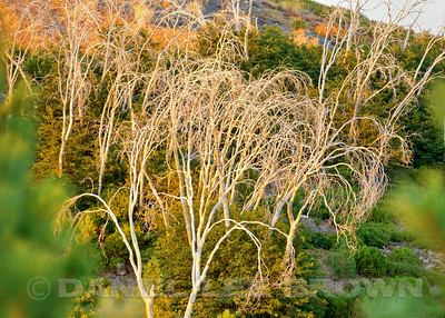 Bleached Trees, Placer County, CA. 8-2-14. Cropped image.