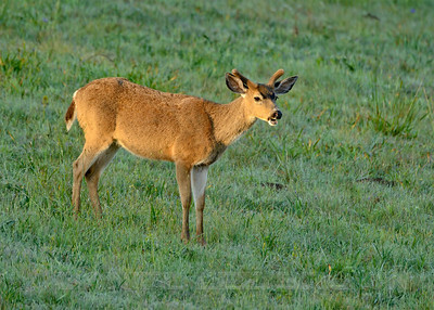 Male Black-tailed Deer (Buck), Sonoma County, CA, 4-20-14. Cropped image.
