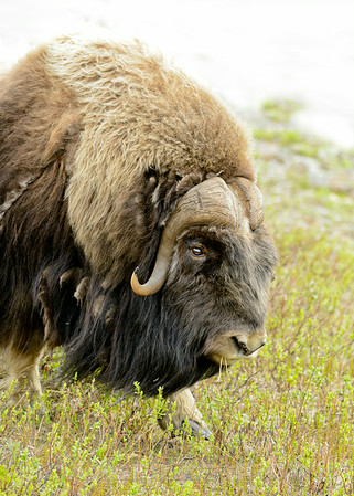 Musk Ox, Bering Street, Nome, Alaska, 6-10-14. Cropped image.