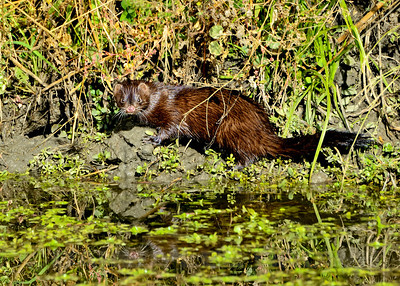 Mink, Yolo Bypass Wildlife Area, Yolo Co, CA, 11-26-13. Cropped image