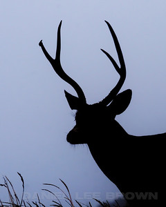 Black-tail buck in the fog, Pt. Reyes, Marin Co. CA, 9-14-11. Contrast increased in photoshop. Cropped image.