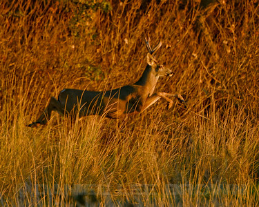 Black-tailed Deer Buck, Colusa NWR, Colusa County, CA. 11-9-13. Cropped image.
