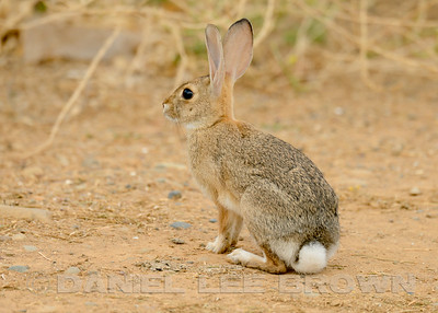 Cottontail Rabbit, Mather Regional Park, Sacramento County, CA, 7-20-2014. Cropped image.