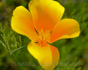California Poppies, Mather Regional Park, Sacramento, County, CA, 4-3-14. Cropped image.