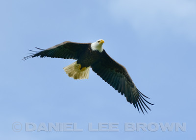 Bald Eagle, Potter Marsh, Anchorage Alaska, 6-24-14. Cropped image.