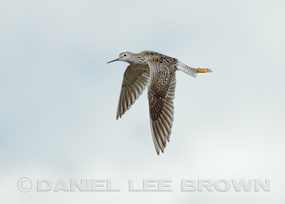 Lesser Yellowlegs, Denali Highway, Alaska, 6-23-14. Cropped  image.