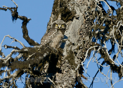 Northern Hawk Owl, along the  Denali Alaska, 6-23-14. Cropped image.