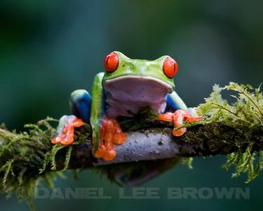Red-eyed Treefrog, Selva Verd , Costa Rica.