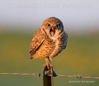 Burrowing Owl, Mather Park, Sacramento co.CA.