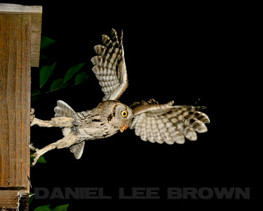 Western Screech-Owl carrying a insect to it's nest box, Sacramento County, CA, 5-18-14. Cropped image.