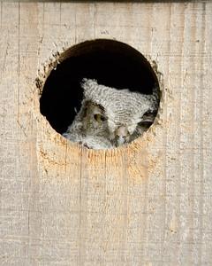 Western Screech-Owl nestling, Sacramento County, CA, 5-18-14. Cropped image.
