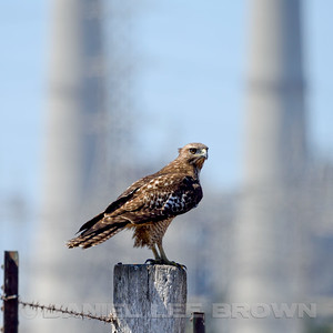 RED-TAILED HAWK, Moss Landing Power Plant