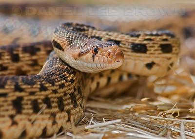 Gopher Snake, Yolo Bypass Wildlife Area, Yolo co, CA, 5-26-10,